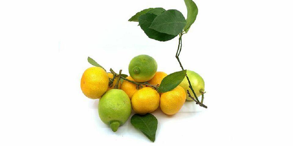 DOMAĆI AGRUMI - Limun i Mandarina